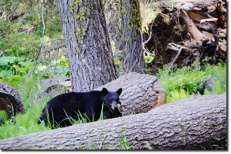 Black Bear un Round Meadow 2