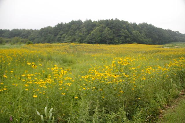 オオハンゴンソウの見事なお花畑.今日の作業はこの場所の草刈り.