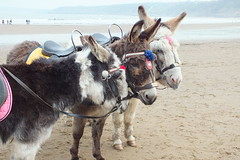 Donkeys at Scarborough, South Bay