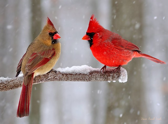 Flickr the snow cardinals northern cardinal bird pool - Pictures of cardinals in snow ...