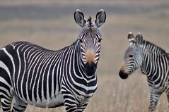 SOUTH AFRICA - Mountain Zebra National Park