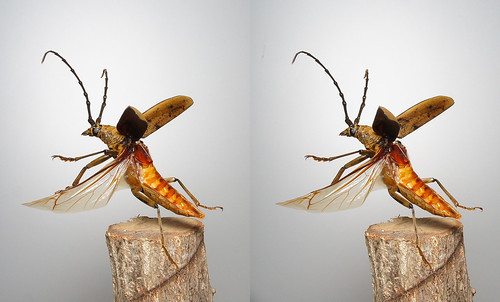 Massicus raddei, stereo parallel view