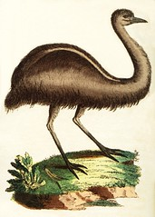 Cassowary of New South Wales