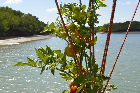 sea tomatoes