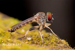 Robberfly (Asilidae) - DSC_9555