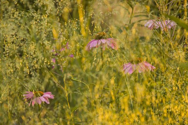 Echinacea & Deschampsia