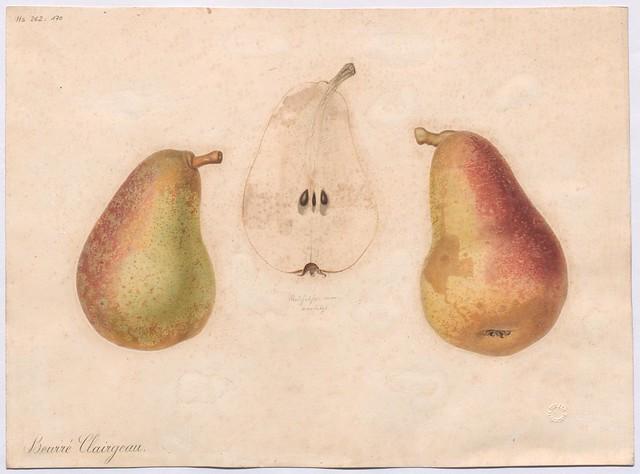 Birnensorte Clairgeau's Butterbirne (Beurré Clairgeau, Poire Clairgeau)