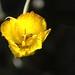 Weed's Mariposa Lily by EmperorNorton47