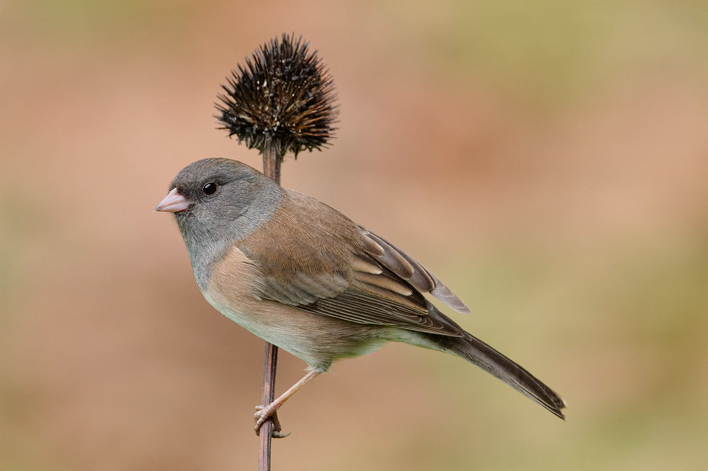 A female dark-eyed junco (Oregon race) perches on a purple coneflower stem