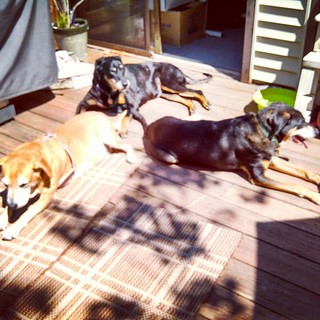 Zeus' nursing staff, hard at work, lol #dogstagram #houndmix #dobermanmix #coonhoundmix #mybabies #ilovemydogs #rescued #adoptdontshop