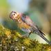 Juvenile American Robin on Moss