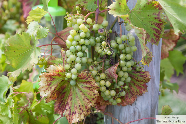 Grapes growing on a vine near the Riesling Festival