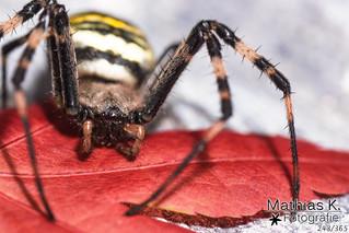 Spinne | Projekt 365 | Tag 243