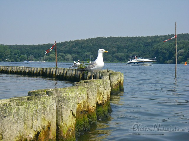 seagull 0000 Wannsee, Berlin, Germany