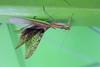 Creepy Mantis