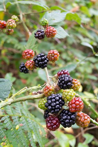 湖水地方 イギリス 自然 ブラックベリー 秋 恵み