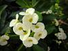 Crown of Thorns Blooms