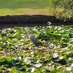 Swiss Cottage lake Singleton Park Swansea 16th Sept 2014  (2)