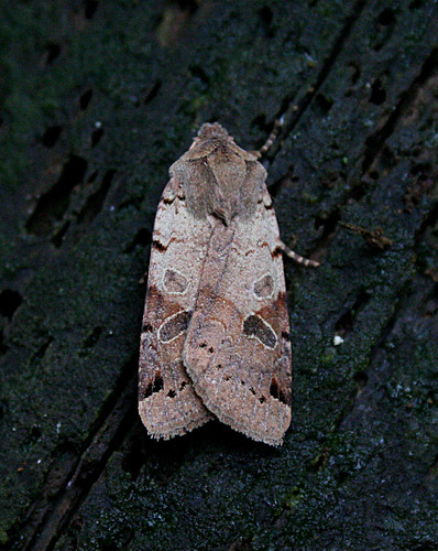 Brown-spot Pinion Agrochola litura Tophill Low NR, East Yorkshire September 2014