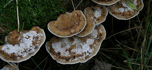 Blushing Bracket Daedaleopsis confragosa Tophill Low NR, East Yorkshire September 2014