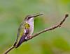 Ruby-Throated Hummingbird-Female