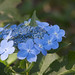 The Hydrangea of Late Summer