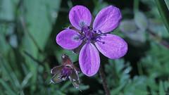 Fleur sauvage · Wildblume LXXVII