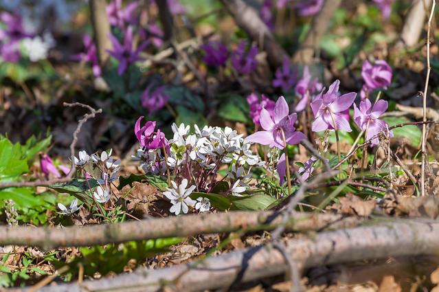 カタクリとユキワリソウが咲き競う