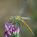 Sympetrum fonscolombi by alfvet