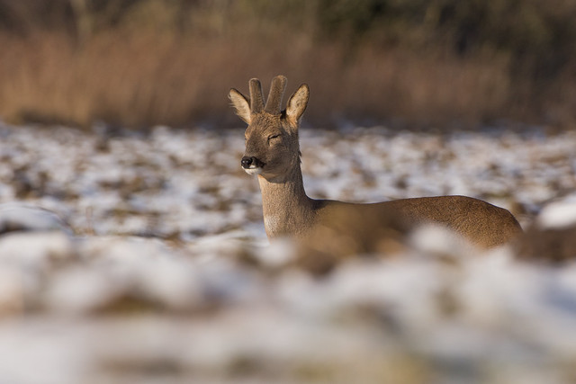 Sleepy Roe Deer buck