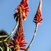 Small photo of Aloe