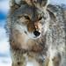 Coyote - Canis latrans by seb-artz