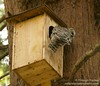 Barred Owl leaves nest box after depositing prey (?)