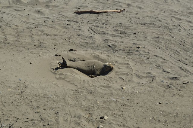 Elephant Seal in a hole