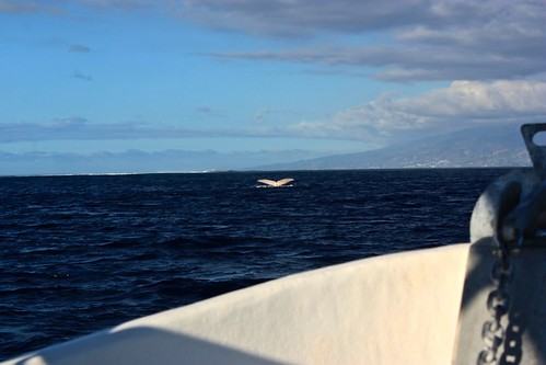 Moorea whale watching