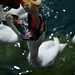 Hungry swan by guillemcat