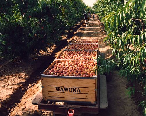Wawona peach orchards.  USDA purchases have helped this third-generation family business strengthen the local economy in one of the nation's largest agricultural centers—San Joaquin Valley, California.