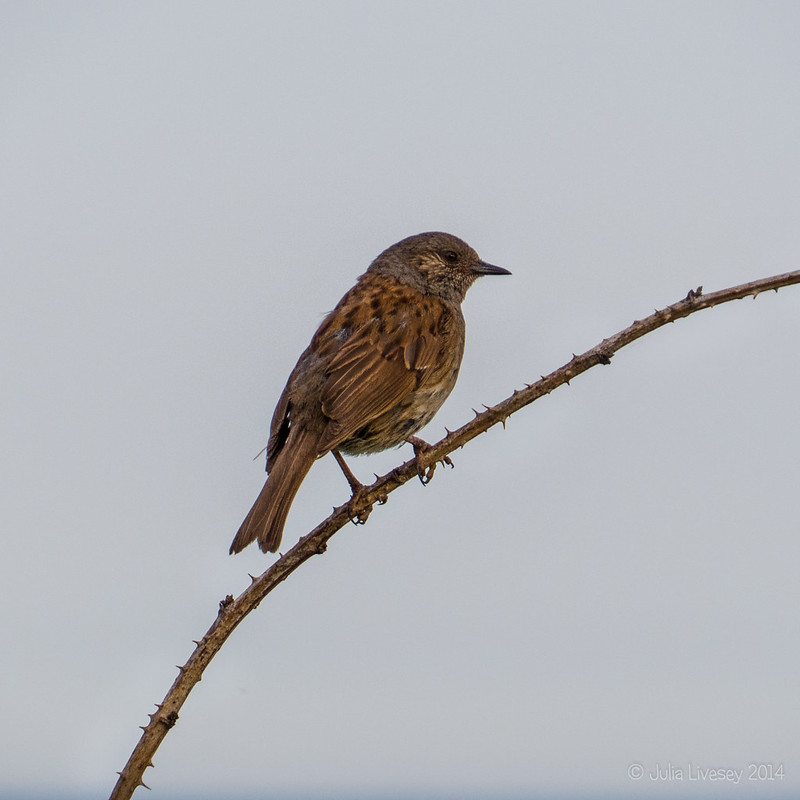 This little dunnock was singing away