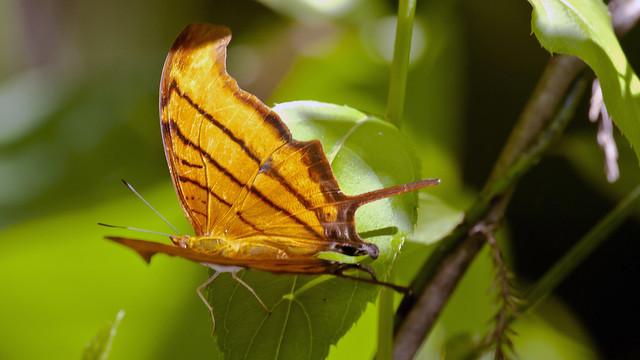 Ruddy Daggerwing (Marpesia petrius); Corkscrew Swamp Sanctuary, FL [Lou Feltz]