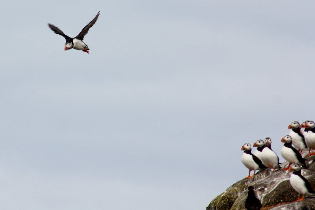 Isle of May puffin in flight II