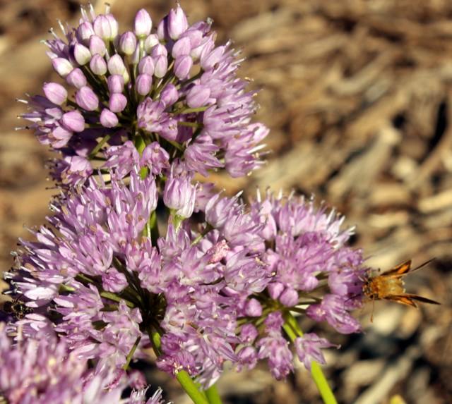 allium pollinator - moth