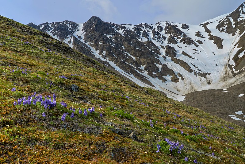 Arctic Lupines at King's Throne - Kluane National Park