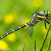 Hello Mr Golden Ringed Dragonfly :o)