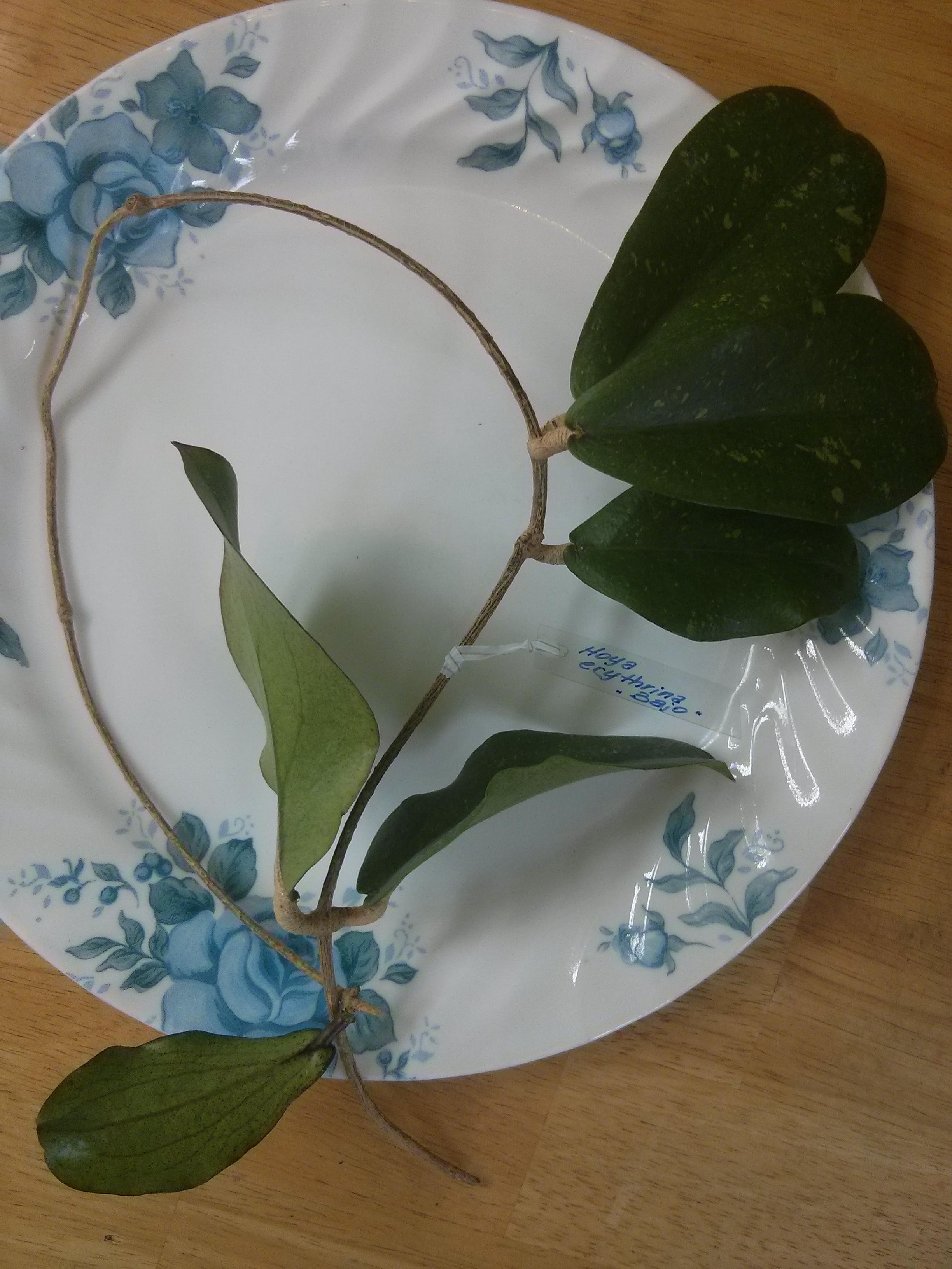 erythrina 'Bajo'