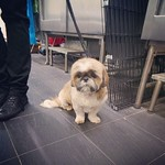 Roxy was in for a groom today #plutopups #plutopupskotara #grooming #groom #doggrooming #shihtzu #plutopupsgrooming