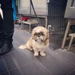 Roxy was in for a groom today #plutopups #plutopupskotara #grooming #groom #doggrooming #shihtzu #plutopupsgrooming
