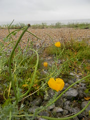 Horned Poppies