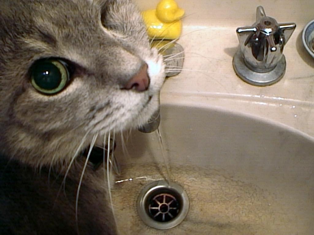 pussycat drinking