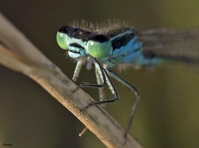 Ischnura elegans male