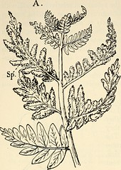 "Image from page 373 of ""The structure and development of mosses and ferns (Archegoniatae)"" (1918)"